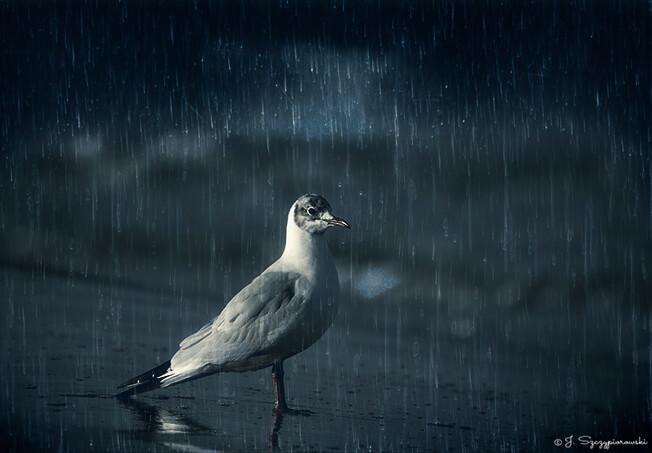 Mewa w deszczu, fot.39